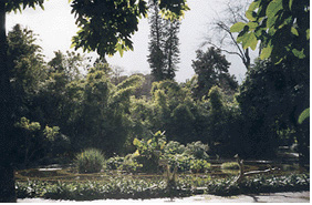 Papyrus pond in Palermo's botanical gardens.